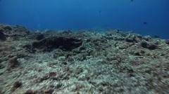 Ocean scenery herbivores feeding on turf algae, reef stripped bare of almost all - stock footage