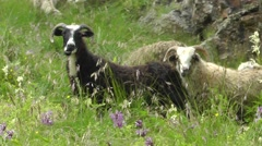 Sheep chewing grass outdoors Stock Footage