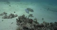 Venus tuskfish hunting on stressed coral reef, Choerodon venustus, 4K UltraHD, Stock Footage