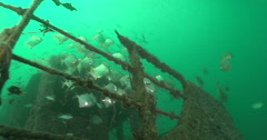 Diamondfish schooling on planktivore zone, Monodactylus argenteus, 4K UltraHD, Stock Footage