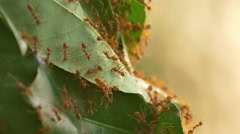 4K of Red ants work as a team to build their nest with tree leafs - stock footage