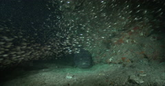Silver spotless glassfish lurking on large cavern full of baitfish, Siphamia Stock Footage