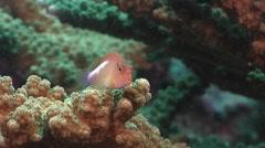 Ringeye hawkfish ambush predator waiting on hard coral microhabitat, Stock Footage