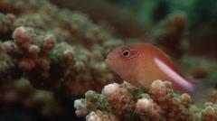 Ringeye hawkfish hunting on hard coral microhabitat, Paracirrhites arcatus, HD, Stock Footage