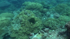 Golden batfish swimming on semi-protected coral slope, Platax boersii, HD, - stock footage