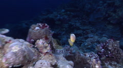 Redfin butterflyfish swimming on protected seaward coral garden at dusk, Stock Footage