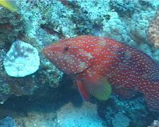 Coral cod hovering, Cephalopholis miniata, UP343 Stock Footage