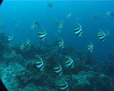 Schooling bannerfish schooling and schooling on deep coral reef, Heniochus Stock Footage
