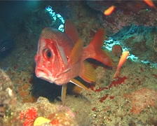 Sabre squirrelfish hovering, Sargocentron spiniferum, UP112 Stock Footage