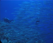 Bigeye barracuda schooling and schooling on deep coral reef, Sphyraena forsteri, Stock Footage