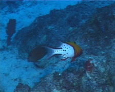 Lyretail hogfish swimming, Bodianus anthioides, UP493 Stock Footage