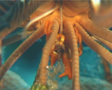 Elegant squat lobster feeding, Allogalathea elegans, UP942 Stock Footage