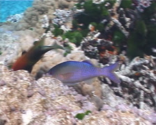 Goldsaddle goatfish hunting on shallow coral reef, Parupeneus cyclostomus, UP286 Stock Footage