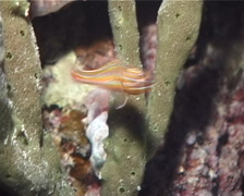 Rubyspot cardinalfish hovering at night, Ostorhinchus rubrimacula, UP851 Stock Footage