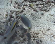 Dash dot goatfish hunting, Parupeneus barberinus, UP316 Stock Footage