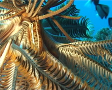 Crinoid clingfish, Discotrema crinophilum, UP859 Stock Footage