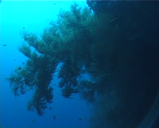 Bushy brown black coral on black coral forest, Antipathes sp. Video 521. Stock Footage