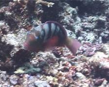 Bleekers parrotfish feeding, Chlorurus bleekeri, UP934 Stock Footage