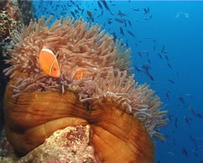 Pink anemonefish hovering, Amphiprion perideraion, UP408 Stock Footage