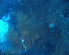 Longnose hawkfish, Oxycirrhites typus, UP777 Stock Footage