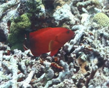 Flagtail grouper swimming, Cephalopholis urodeta, UP196 Stock Footage