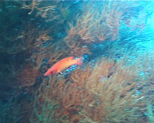 Redfin hogfish hunting, Bodianus dictynna, UP70 Stock Footage