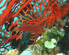 Exquisite wrasse hovering and schooling, Cirrhilabrus exquisitus, UP492 Stock Footage