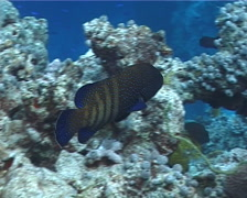 Peacock grouper swimming, Cephalopholis argus, UP197 Stock Footage
