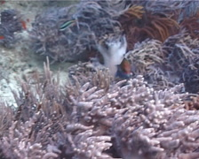 Juvenile Moon wrasse hunting, Thalassoma lunare, UP73 Stock Footage