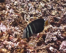 Sailfin tang feeding, Zebrasoma velifer, UP127 Stock Footage
