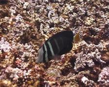 Sailfin tang feeding, Zebrasoma velifer, UP127 - stock footage