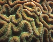 Unidentified brain coral, Lobophyllia sp. Video 553. Stock Footage
