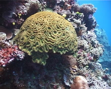 Unidentified brain coral on shallow wall, Lobophyllia sp. Video 552. Stock Footage