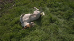 Jack Russell Terrier playing in the grass Stock Footage