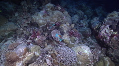 Male adult Bullethead parrotfish territorial on protected seaward coral garden Stock Footage
