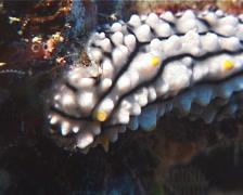 Lumpy black grey orange slug, Phyllidia elegans, UP1079 Stock Footage