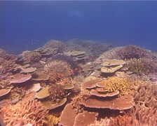 Healthy hard coral garden on shallow coral reef, with scuba diver and standing Stock Footage
