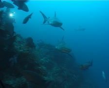 Grey reef shark swimming in fish feeding arena, Carcharhinus amblyrhynchos, Stock Footage