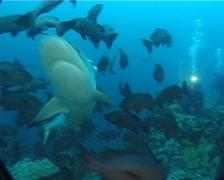 Grey reef shark swimming in fish feeding arena, Carcharhinus amblyrhynchos, Stock Footage