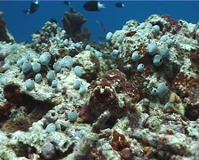 False stonefish, Scorpaenopsis diabolus, UP1356 Stock Footage