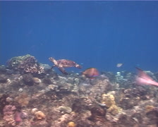 Suckerfish swimming on shallow coral reef, Echeneis naucrates, UP1405 Stock Footage