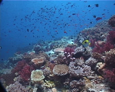 Ocean scenery diverse hard coral garden, on planktivore zone, UP1417 Stock Footage