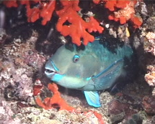 Steephead parrotfish sleeping at night, Chlorurus microrhinos, UP1426 Stock Footage