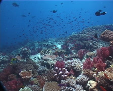 Ocean scenery cloud of planktivores above diverse reef, on shallow coral reef, Stock Footage