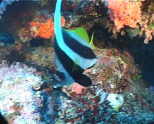 Longfin bannerfish swimming, Heniochus acuminatus, UP1412 Stock Footage