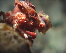 Decorator crab walking at night, Cyclocoeloma tuberculata, UP1487 Stock Footage