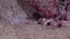 Juvenile Flagtail grouper hiding on protected seaward coral garden at dusk, Stock Footage