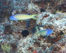 Bluehead tilefish hovering, Hoplolatilus starcki, UP1494 Stock Footage