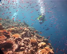 Videographer filming on coral bommie with Magenta slender anthias Scalefin Stock Footage