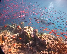 Expert diver with perfect buoyancy hovering on shallow coral reef with Magenta - stock footage
